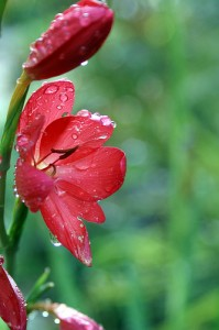 Red River Lily